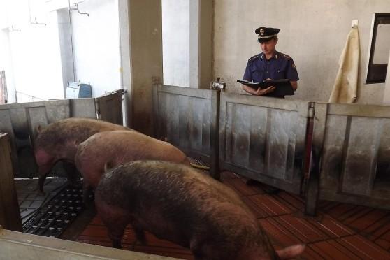 Ventimiglia, spagnolo sanzionato nel trasporto di maiali