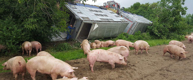 Autotreno carico di maiali si ribalta sulla Statale 118